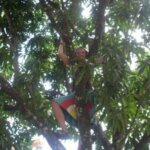 cate in mango tree